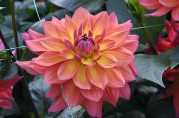 Dahlia Tricolor