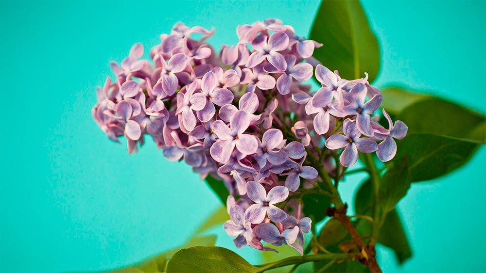 lilac arbustes pour floraison jardin pro 1