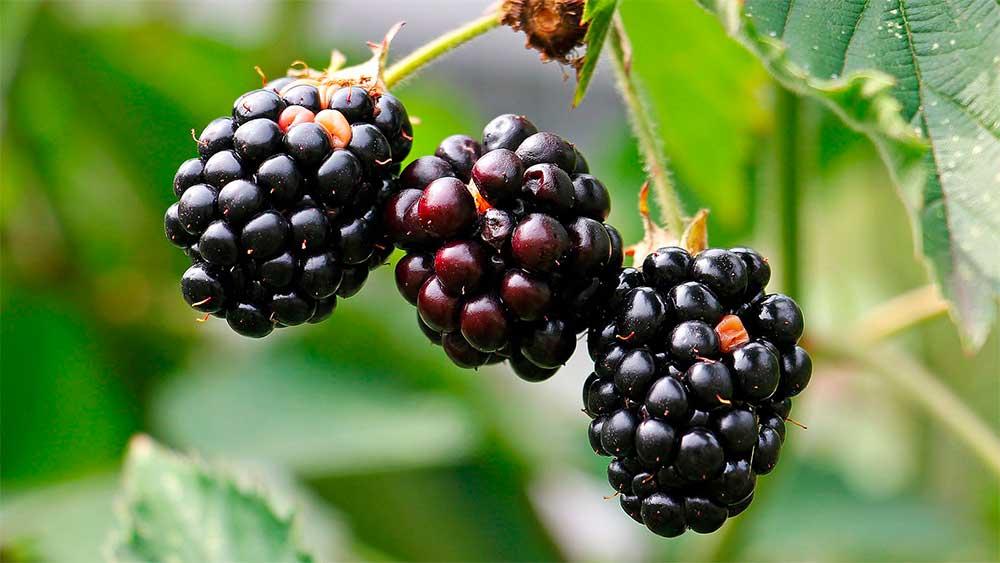 muriers petits fruits jardin pro 1