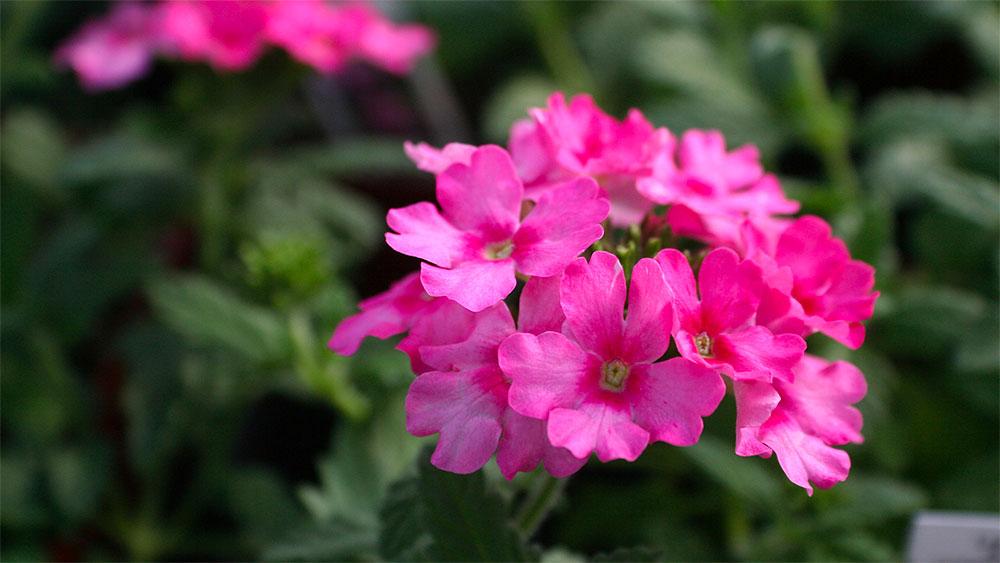 verveine1 annuelles soleil jardin pro