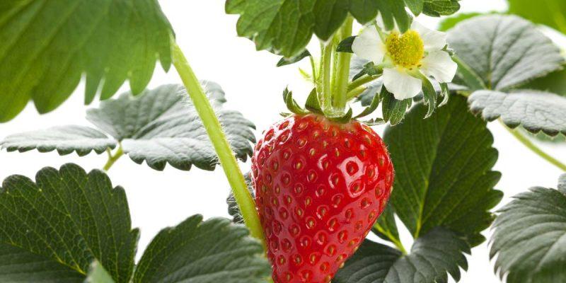 jardin pro cultiver fraises